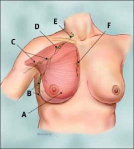 Breast Muscles and Lymph Nodes